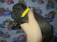 Rare *BLUE* French Bulldog QUALITY Puppies!!