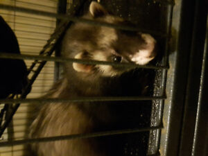 2 ferrets with ferret nation cage and accessories