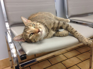 Rescued cat looking for someone with a really big heart! Kitchener / Waterloo Kitchener Area image 7