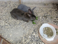 8 week old meat rabbits for sale