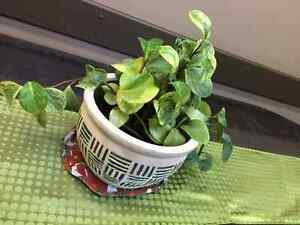 Live Healthy Plant For Sale