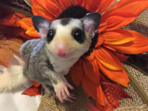 Hand Tame Lineaged Sugar Gliders Available!