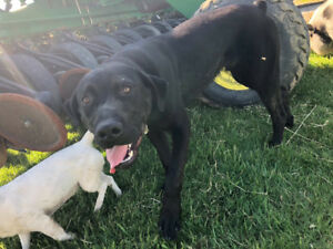 Missing male lab Mix
