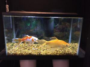 2 gros poissons à vendre avec aquarium et accessoires