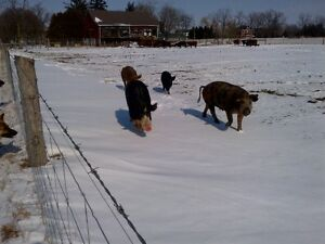 heritage weaner pigs, pigglets, sows, boar, and pigs $50+ Kitchener / Waterloo Kitchener Area image 10