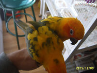 Sunny and Hunny, Male and Female Sun Conure Parrots