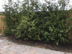 privacy cedar hedges up to 6 month,s to pay on o. a c.