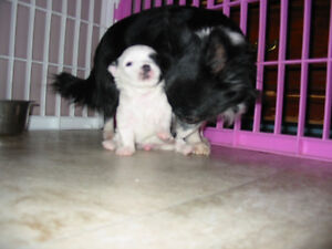 CHIHUAHUA PUPPIES First Shots Health Record Dewormed