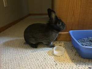 1.5 year old male neutered short hair bunny