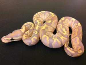 Serpent banana ghi femelle et aquarium python royal