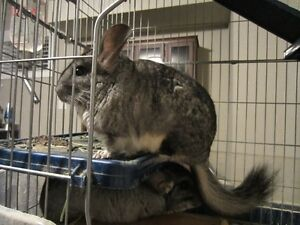 4 Chinchillas for sale - 1 female 3 males  $100 each O.B.O