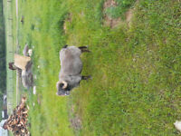 Ewes Wanted
