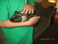 2 Beautiful Guinnea pigs with cage and accessories