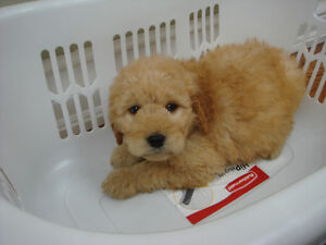 Goldendoodle Puppies! 2 Males, 1 Female!