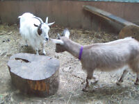 Two female Nigerian Dwarf companion goats