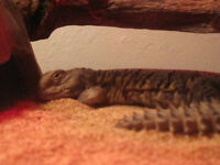 Uromastyx for Sale to Knowledgable Buyer