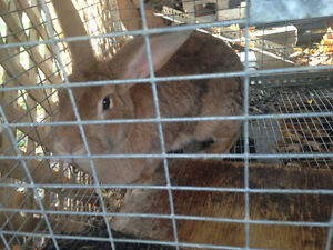 Must go!! Giant Flemish meat rabbits London Ontario image 3