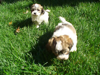 SHichon Puppies Cross of shih tzu Bichon Frise