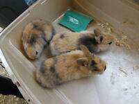 netherland dwarf Bunnies for sale***Price Reduced***
