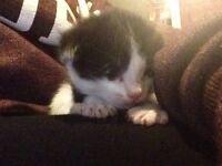 5 fluffy kittens ready in 6 weeks