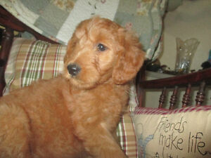 RED GOLDEN DOODLE FEMALE PUPPY