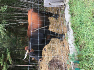 pregnant cow for sale