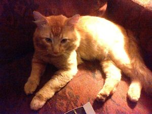 Neutered male domestic medium hair