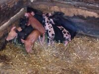 Weaner pigs - Available beginning of April