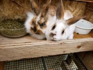 Lionheadrex Rabbits for sale