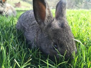 Rabbit - NZD X Flemish cross bunnies