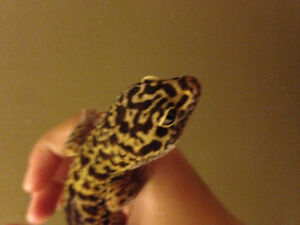 GECKO Amazing deal on rare gecko 160 or best offer