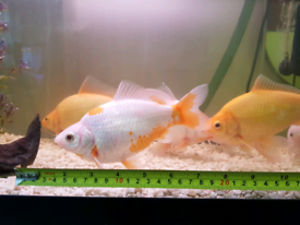 Goldfish   Fish for Sale - Gumtree