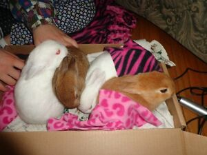 Beautiful Baby bunnies ready for adoption Peterborough Peterborough Area image 3