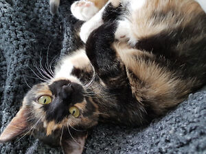 Lost 7month year old Calico female kitten- Division & Consession