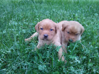 PUREBRED FOX RED /CHOC LABRADOR PUPPIES CKC REG`D