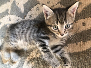 Baby kitten for sale! Tabby/Siamese mix.
