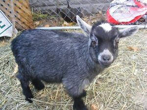 Mini Goat Buck 3 years proven producer Possible trade Kawartha Lakes Peterborough Area image 6