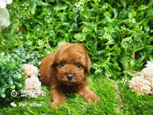 toy-sized pomeranians and poodles puppies