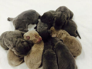 CKC Registered Charcoal and Silver Labrador Puppies