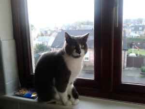 Looking for a good and loving home for adult male cat (Langley,