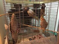 COCKATIELS FOR SALE NEEDS TO GO ASAP