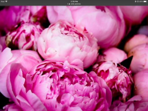 Fragrant, pink peonies ready for fall planting