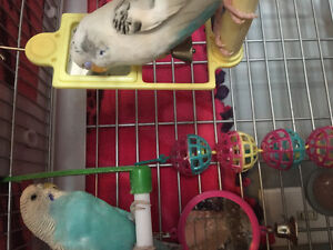 Two budgies looking for a good home
