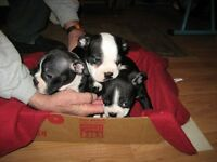 Boston Terrier - Chiots