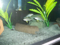 Cichlids from Lake Tanganyika  / Aquarium