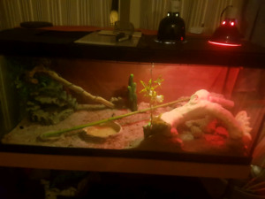Pending pick up!!! (sold)!!!!!!4 and 1/2 year old bearded dragon