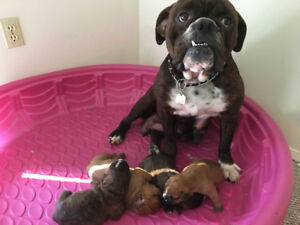 Olde English Bulldogge Puppies Purebred With Papers