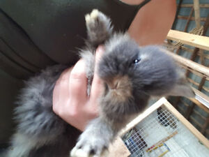 Lionhead baby bunnies for sale
