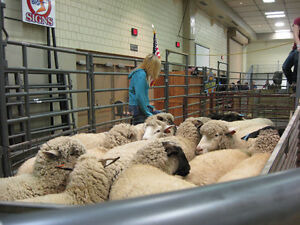 PROFESSIONAL SHEARING / CERTIFIED NEW ZEALAND SHEARER Cornwall Ontario image 7