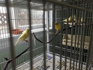 Canaries---Pairs and singles